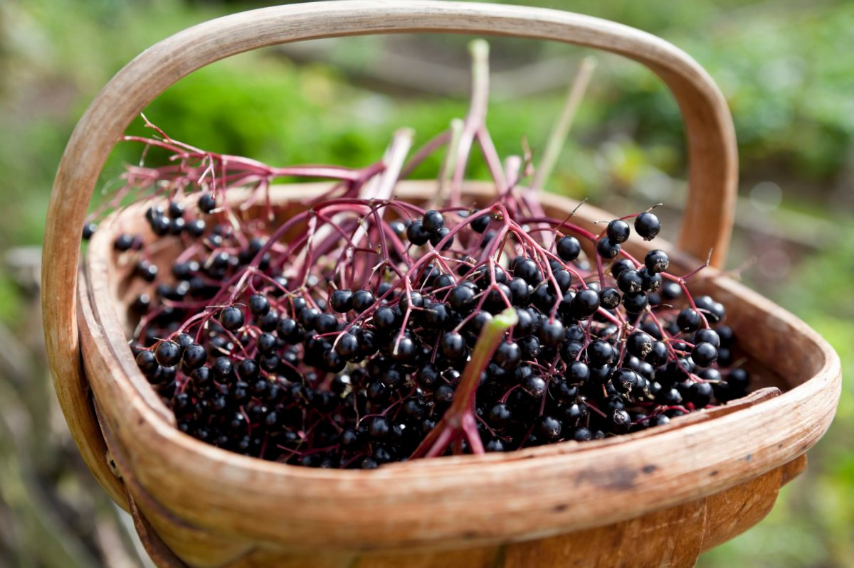 The healing power of elderberries